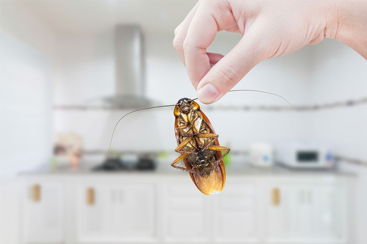risque santé nuisible blattes