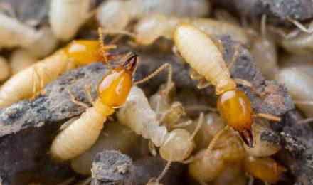 désinsectisation termites