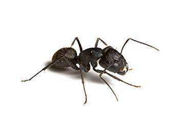 désinsectisation fourmis