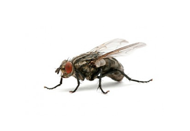 désinsectisation mouches