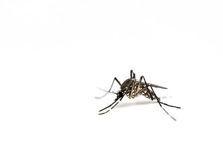 nuisible moustique