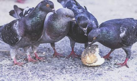 risque santé pigeons