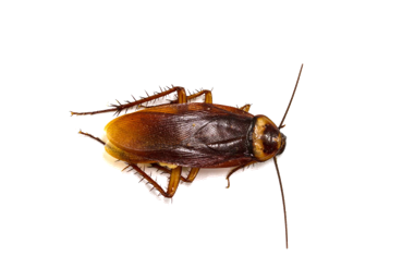 désinsectisation blattes cafards