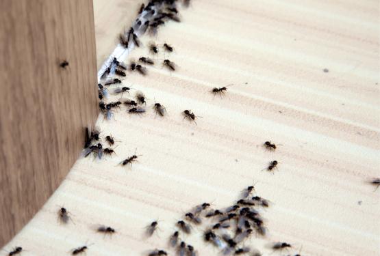 invasion-fourmis-etablissement-pro