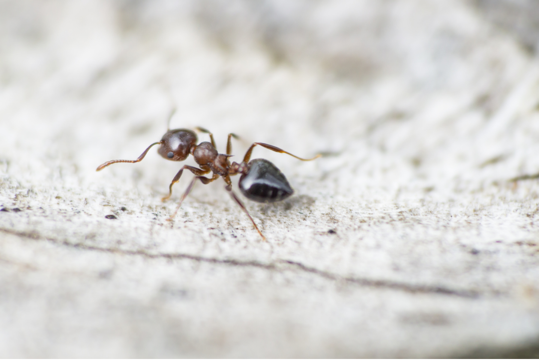 fourmi-acrobate-en-gros-plan