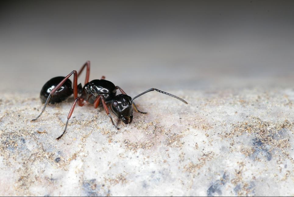 fourmi-noire-en-gros-plan