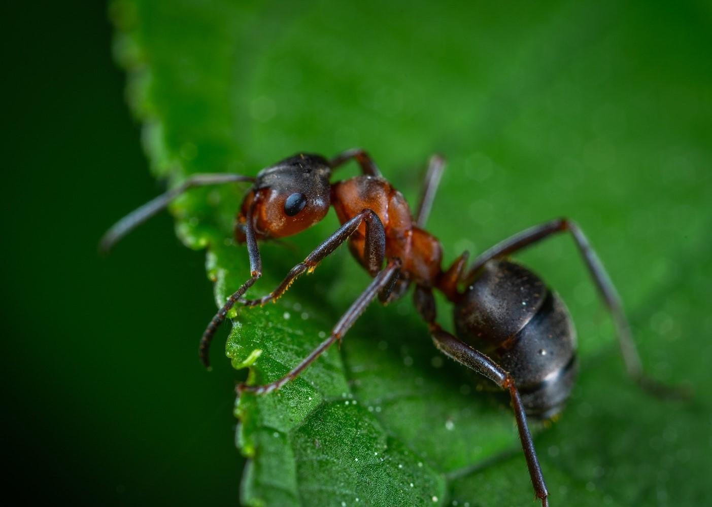 fourmis-noire-alpes-maritimes-en-gros-plan