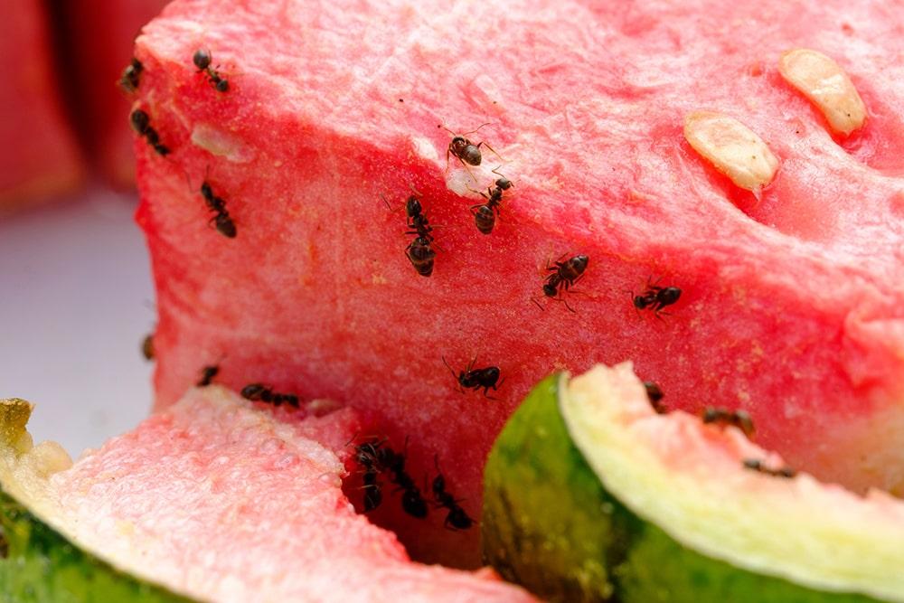 fourmis-sur-melon
