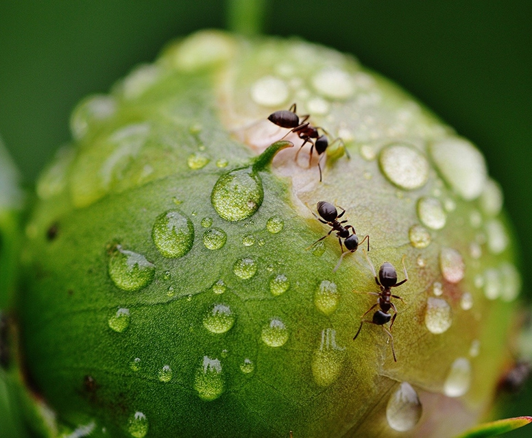 fourmis sur fleur pivoine